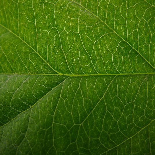 Apple_Leaf_Texture_I_by_texurestockbyhjs